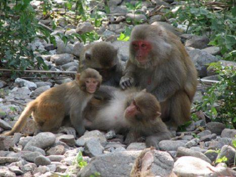 Monkeys in Monkey Island