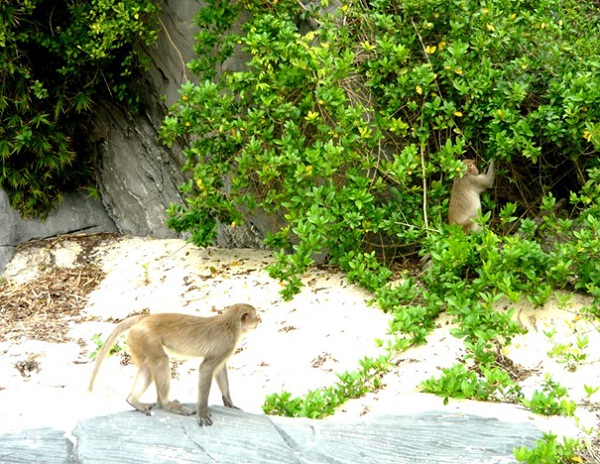 Monkey Island is the home of wild monkeys and endangered white head langurs